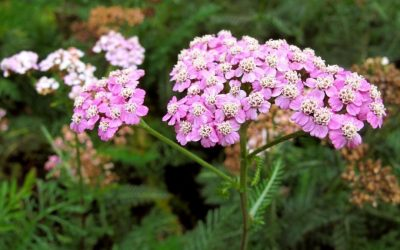 Herb Profile: Yarrow