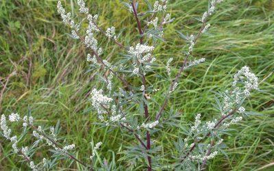 Herb Profile: Mugwort