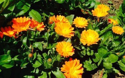 Herb Profile: Calendula