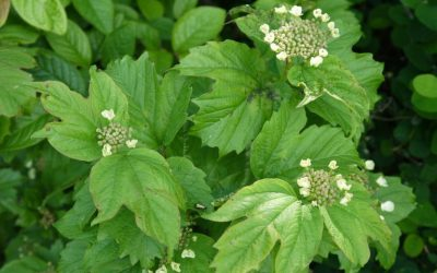 Herb Profile: Crampbark