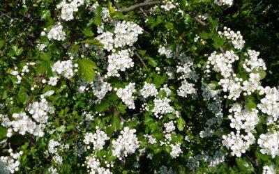 Herb Profile: Hawthorn