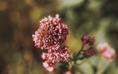 Herb Profile: Valerian