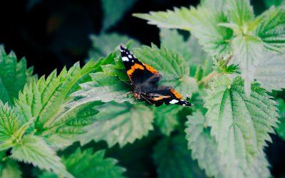 Herb Profile: Nettle