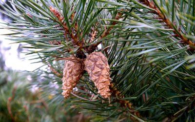 Herb Profile: Pine