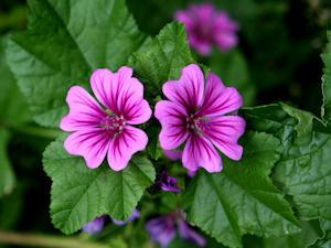 Herb Profile: The Mallows