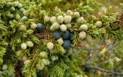 Herb Profile: Juniper