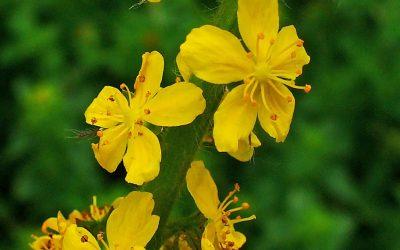 Herb Profile: Agrimony