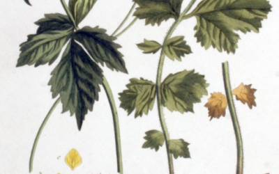 Herb Profile: Wood Avens