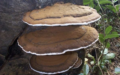 Herb Profile: Artist's Bracket Fungus